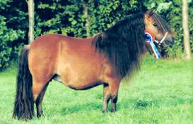 Paola van de lindenhof Dreadnought-dynamic van de beemster x Diana van de lindenhof geb 21-05-2000 kleur bruin merrie 85 cm gedekt met thorgal of sportview 1e premie