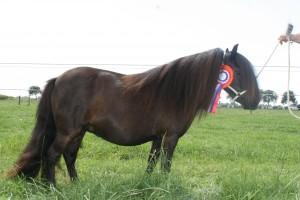 Develey vd Hoek Winningmood vd Toom x Wickey vd Hoek geb 17-05-2010 kleur zwart 86 cm  Gedekt met Black Daimond 1e premie